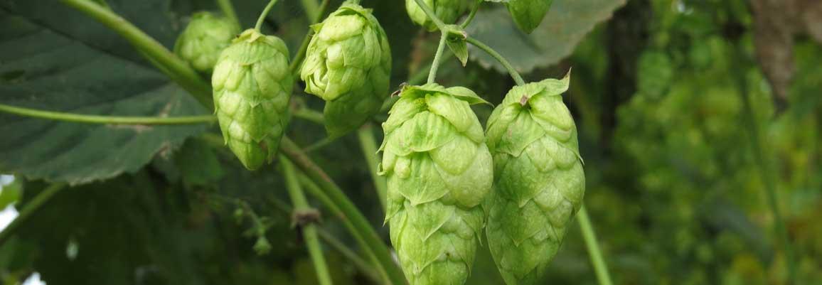 「ビールの魂」ホップ